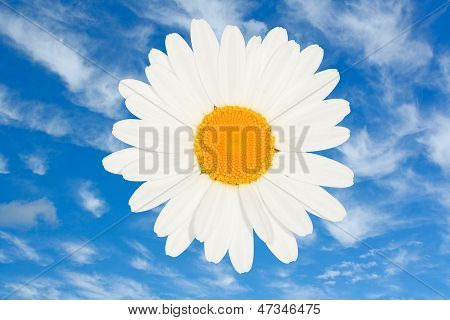 Ox Eye Daisy Flower Head Isolated