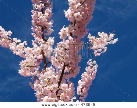 Sky Blossoms