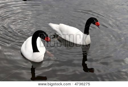 Two Swans With Black Nack