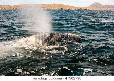 Whale Blowing Water in the Bay