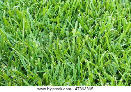 St Augustine Grass Backdrop