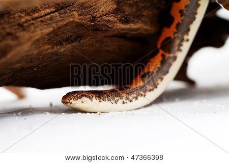 Eryx colubrinus