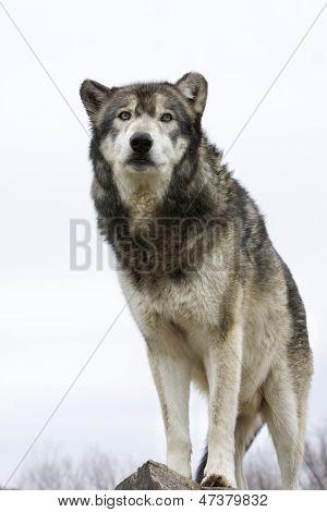 Grey wolf on white background