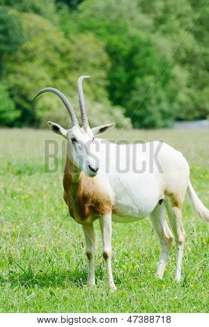 Scimitar Horned Oryx Alone