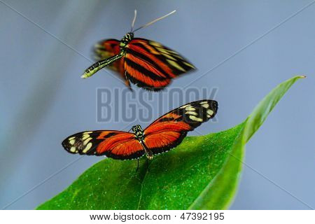 Costa Rican Heliconius longwing butterfly