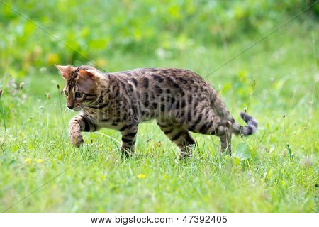 O gato é executado em um gramado