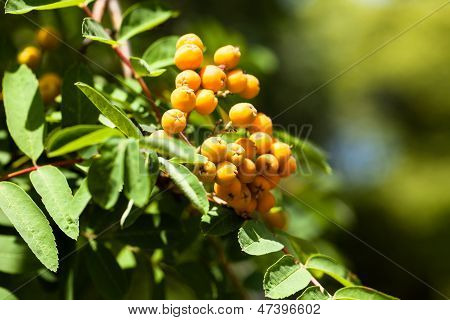 European Rowan Sorbus Aucuparia With Orange Berries In Autumn