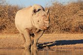 Rhino, Black - Free and Wild Wildlife from Africa.  Power.