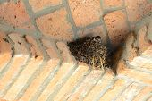 nest of swallow with baby bird
