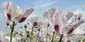 stock photo of opiate  - Opium poppy Papaver somniferum grown for the production of medical opiates - JPG