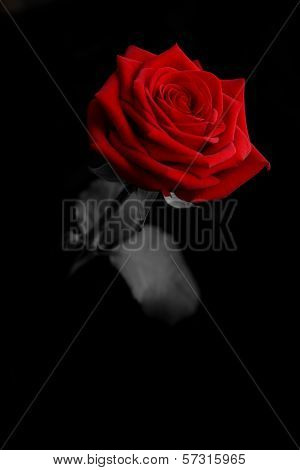 a rose from the darkness