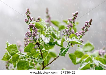 Lilacs In A Snowfall