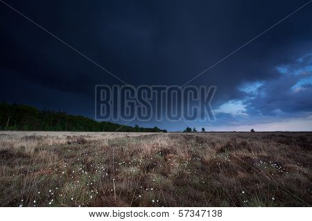 Dark Stormy Sky Over Marsh With Cotton Grass