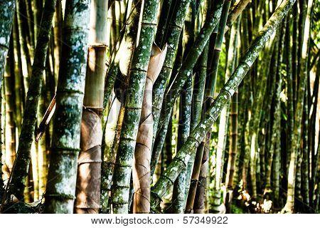 Bamboo Forest Closeup Of Green Trunks