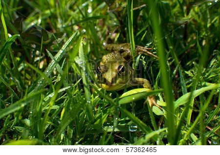 Frog In Green Grass Closeup