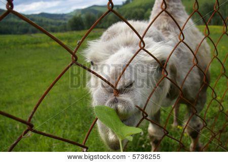 Camel behind lattice