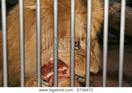 Lion Cage Eat Meat