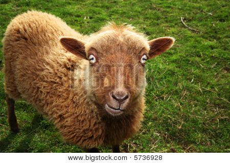 Sheep Evil Eye