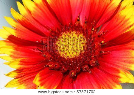 Gazenia Flower