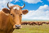 stock photo of grassland  - cow  - JPG