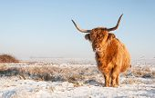 stock photo of highland-cattle  - Red haired Highland cow in winter coat standing in the snowy landscape of a Dutch nature area.
