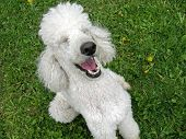 foto of dog teeth  - A standard poodle appreciates a good joke - JPG