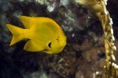 image of damselfish  - coral and damselfish taken in the red sea - JPG