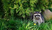 image of rabies  - raccoon or racoon in nature - JPG
