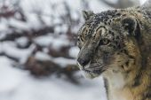 picture of snow-leopard  - Close - JPG