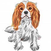 Vector Color Sketch Of The Dog Cavalier King Charles Spaniel Breed