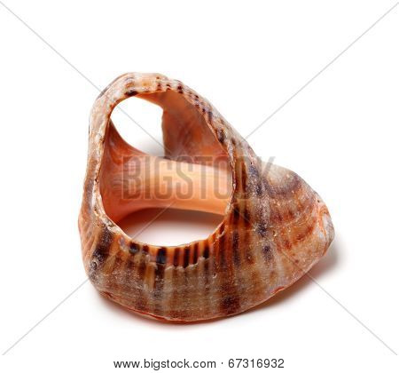 Empty Broken Rapana Shell