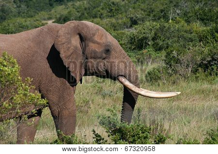 Elephant with long tusks in bush