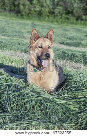 Beautiful female German shepherd resting in the hay