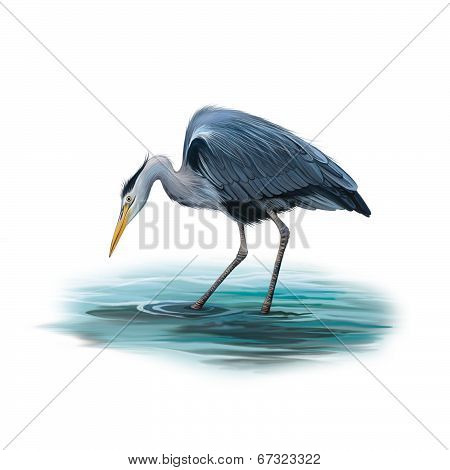 Grey Heron standing in water, Ardea Cinerea