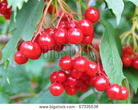 Tassel of the berry viburnum