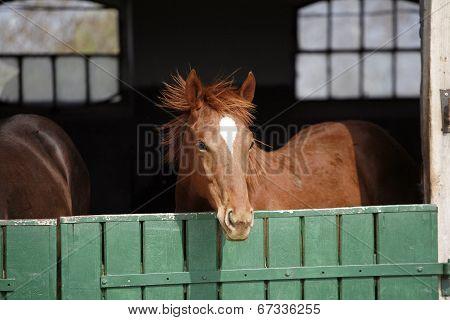 Purebred bay horse in the farm