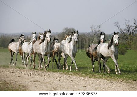 Batch of young arabian stallions galloping