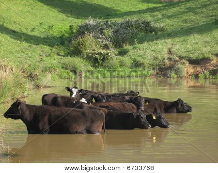 Free Range Cattle