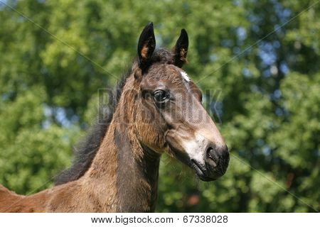 Head-shot of a chetsnut foal