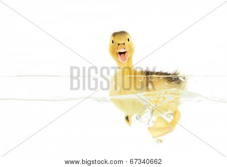 Floating little cute duckling isolated on white