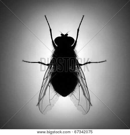 Silhouette of The House Fly ( Musca domestica ) dangerous carrier of pathogens.