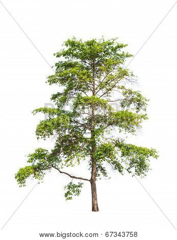 Wild Cinchona Tree (anthocephalus Chinensis), Tropical Tree In The Northeast Of Thailand Isolated On