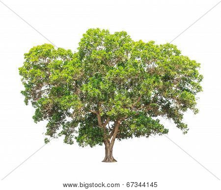 Acacia Mangium, Common Names Include Black Wattle, Hickory Wattle, Mangium, And Forest Mangrove, Tro