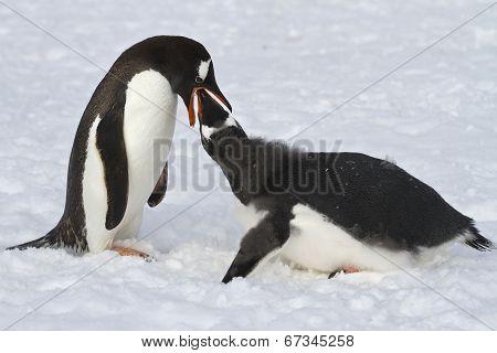 Gentoo Penguin Female Feeding Adult Chick