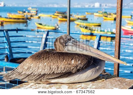 Pelican And Colorful Boats