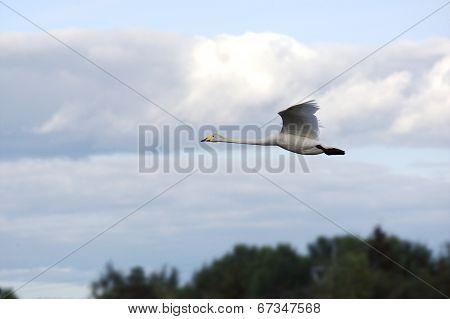 Whooper swan in the sky