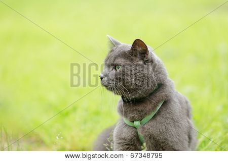 British Chorthair Cat Looking In The Field