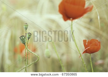 poppy flower in corn field flowers and seed buds of red poppies between wheat. Summer wildflowers in bloom