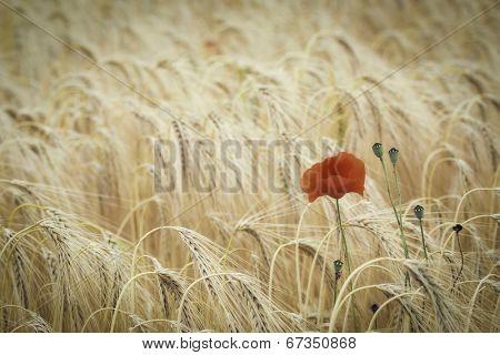 poppy flower in corn field, Papaver rhoeas symbol of remembrance day growing in the fields of Flanders, beautiful red summer wildflower.