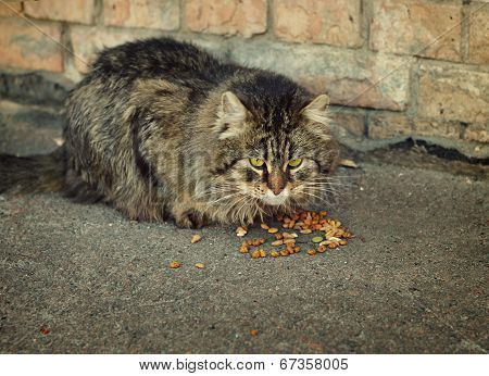 Domestic Cat Eating Dry Food